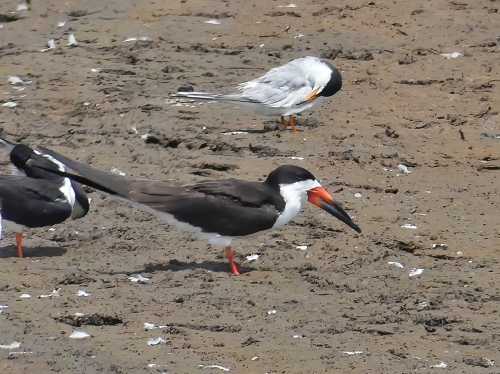 Black Skimmer, one of the world's three skimmer species