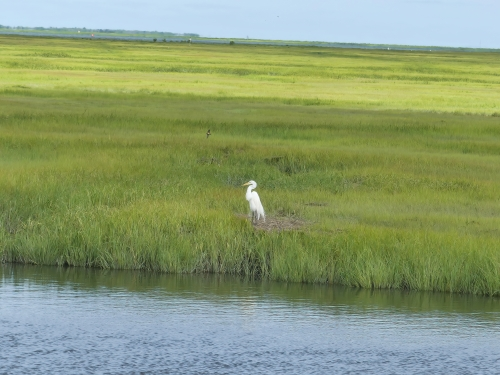 A Great Egret stands out due to its size and color, but the saltmarsh is teeming with unseen wildlife.