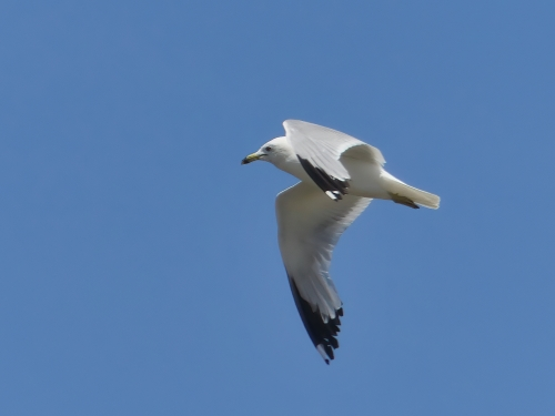 A Ring-billed Gull flies overhead at Ferry Point Park