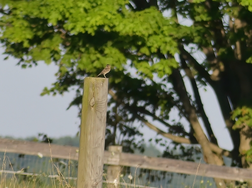 A Grasshopper Sparrow singing atop a post in the goat pen