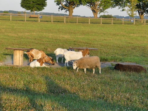 Goats at Center for Maryland Agriculture and Farm Park