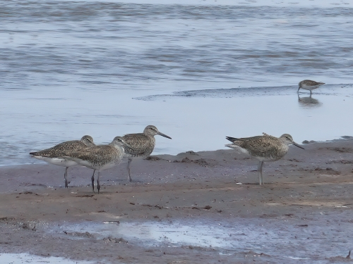 Eastern Willets