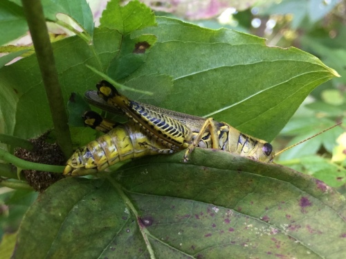 "As a young girl, I played with grasshoppers and I still like them. This one is a Differential Grasshopper, identified by the black chevrons on its ""thighs."""