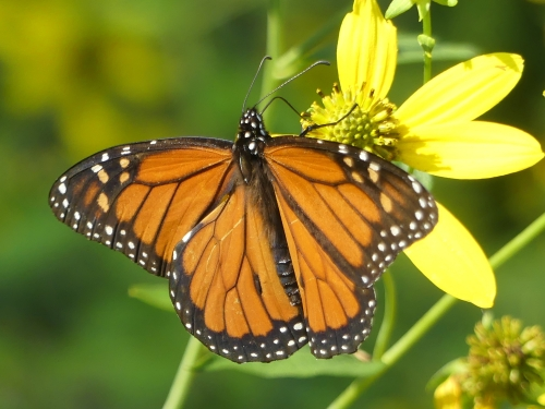 A beautiful Monarch is always nice to see.