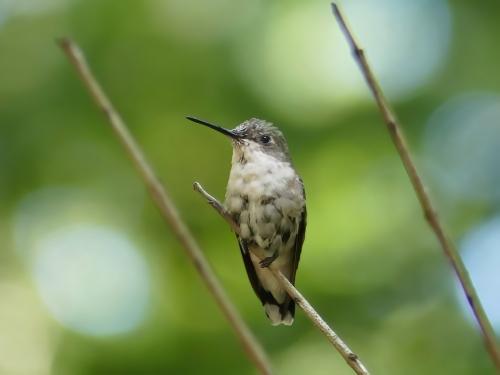Adult female Ruby-throated Hummingbird