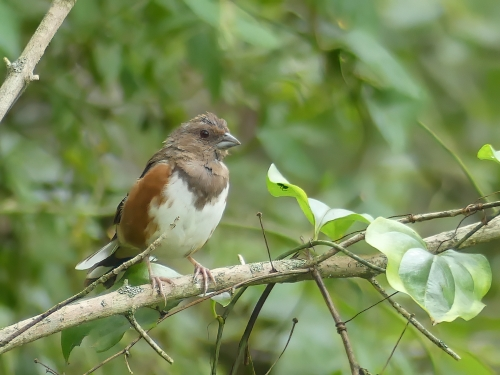 Eastern Towhees are common birds in my circle. This female was accommodating and came to my pishing for a photo.
