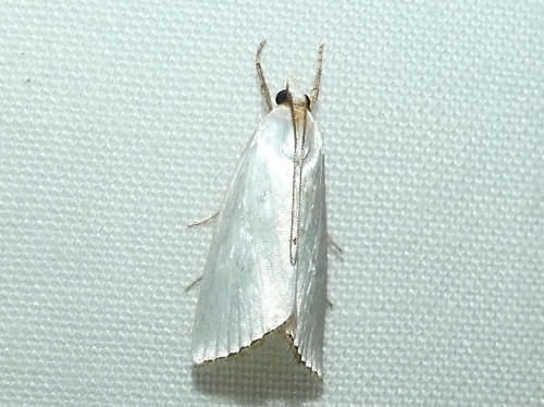 A lovely Showy Urola moth with wings that look like satin.