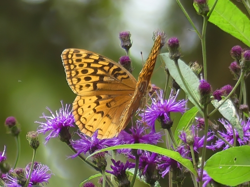 Butterflies provided some easy iNat bonus points. Great Spangled Fritillary on Ironweed.