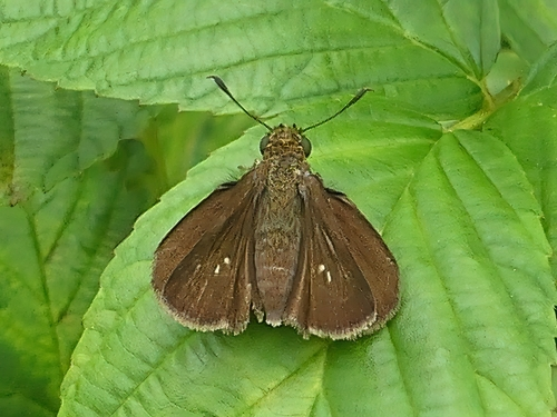 "This Dun Skipper was a ""lifer"" for me."
