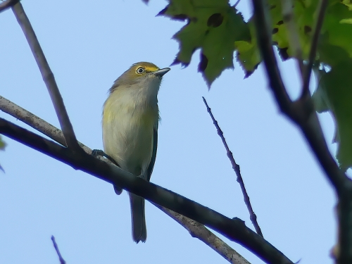 White-eyed Vireos have been more numerous than ever this year. And, they are still singing which makes them easy to find them.