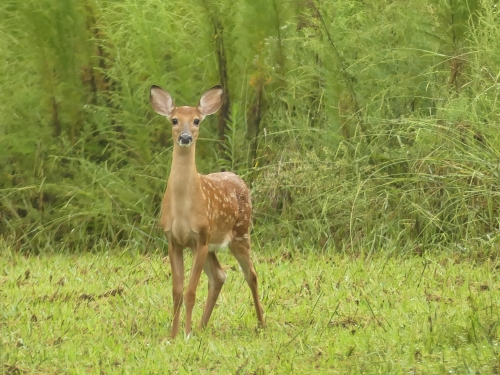 I'll end with this sweet little fawn that I saw on a misty gray day. White-tailed Deer.