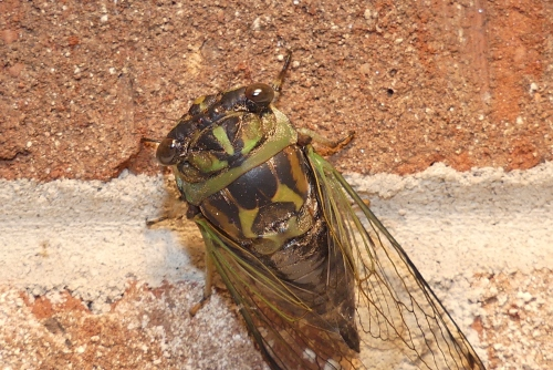 Cicadas, however, are on the short list of insects that I do not like. I've been told that they don't bite or sting, but they still look evil and freak me out.