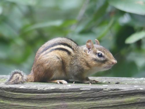 Eastern Chipmunk on my deck