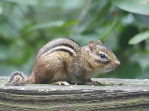 Eastern Chipmunk on my deck