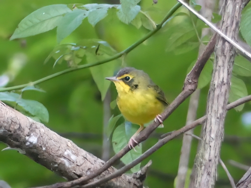 Kentucky Warbler at Bethania's Walnut Bottoms