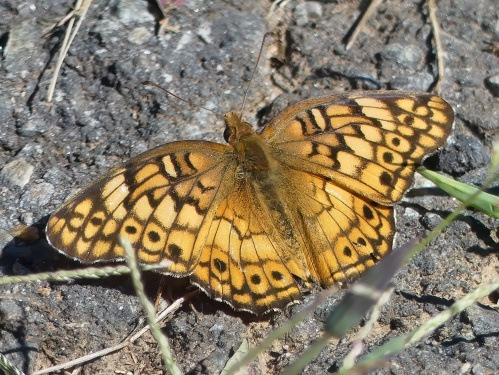 I didn't get any more life butterflies, but this Variegated Fritillary was a new iNat observation for me.