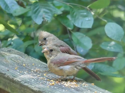 Immature female Northern Cardinals