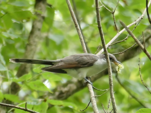 Yellow-billed Cuckoo with an unidentified caterpillar