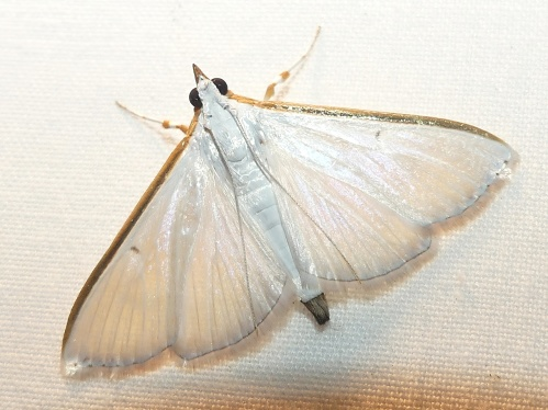This was a new moth for my yard and one of my favorites, Orange-shouldered Sherbet Moth. Its wings were translucent and a photo can't really capture its delicate beauty.