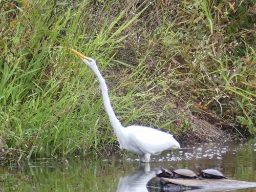 Great Egret at Lake Hills Pond & Marsh