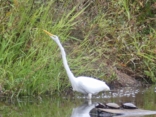 Great Egret at Lake Hills Pond & Marsh