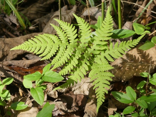 Broad beech fern at Long Creek Park