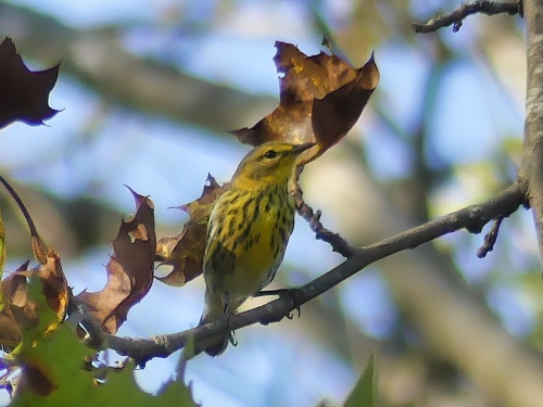 A Cape May Warbler in the late afternoon light at Walnut Bottoms