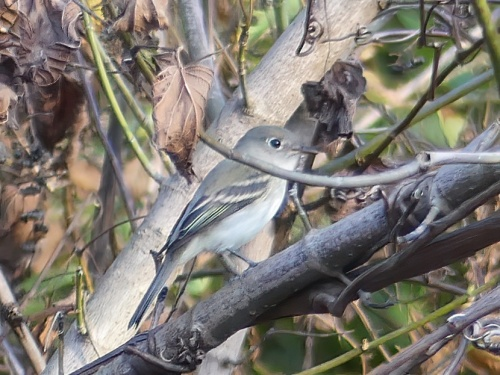 Least Flycatcher at Walnut Bottoms - a new county bird for me!