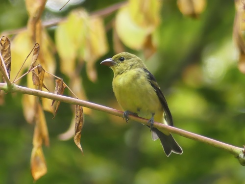 This Scarlet Tanager was also eating Aralia spinosa berries, but it popped out in the open for a photo.