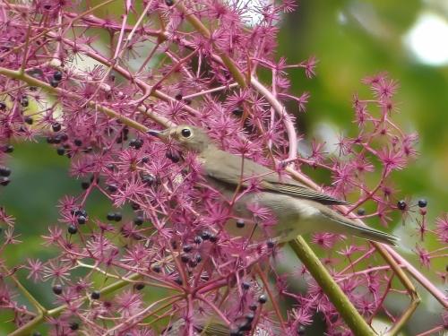 A Swainson's Thrush in the Aralia spinosa, Devil's Walking Stick