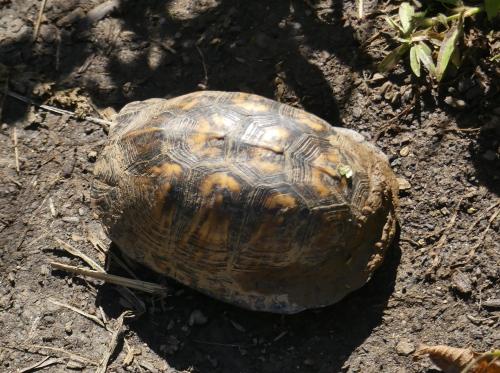Eastern Box Turtle at Walnut Bottoms