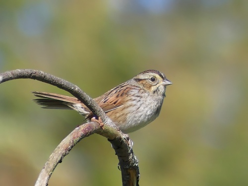 Swamp Sparrow at Long Creek Park