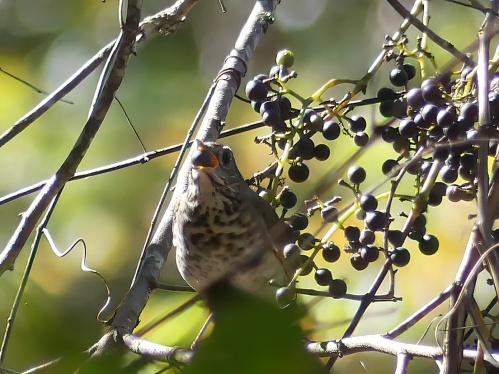 A newly-arrived Hermit Thrush enjoying wild grapes at Long Creek Park
