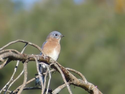 Eastern Bluebird at Long Creek Park