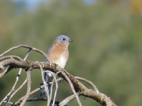 Eastern Bluebird at Long Creek Park