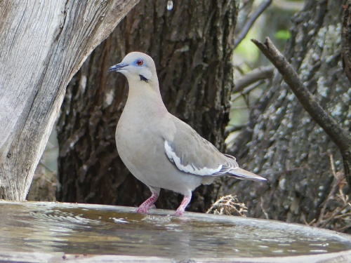 I wasn't fast enough to get a photo of the Bodie Island White-winged Dove. I photographed this bird in Texas where they are much more common.