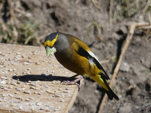 An Evening Grosbeak that I photographed in Colorado last year