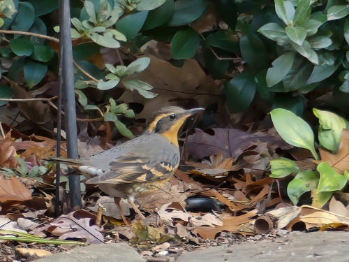 Varied Thrush in Cary, NC. The normal range of this species is the Pacific Northwest.