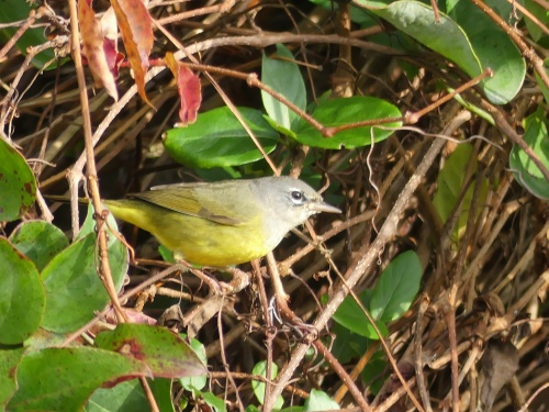MacGillivray's Warbler, yet another western species. Only the 4th NC record.