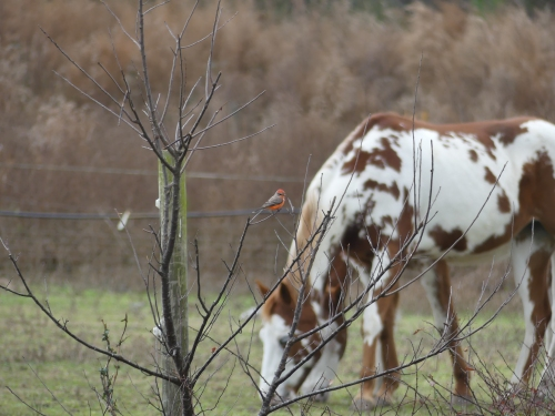 The Vermilion Flycatcher was right at home with the horses.